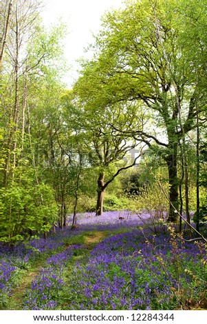 Springtime in England - woodlands carpeted with bluebells - stock photo
