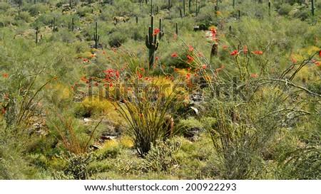 Springtime in the Sonoran Desert - stock photo