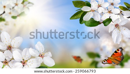 Springtime paradise with white spring blossoms, bright blue sunny sky and happy butterflies, wide format - stock photo