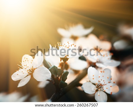 Springtime. Soft focus image of spring flowers blossom in sunny day. Beautiful nature scene with blooming tree and sun flare. Sunny day. Beautiful Orchard background. - stock photo