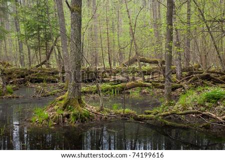 Springtime wet mixed forest with standing water and dead trees partly declined - stock photo