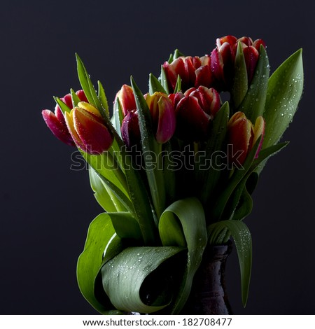 Sprink Tulips on Black Background - stock photo