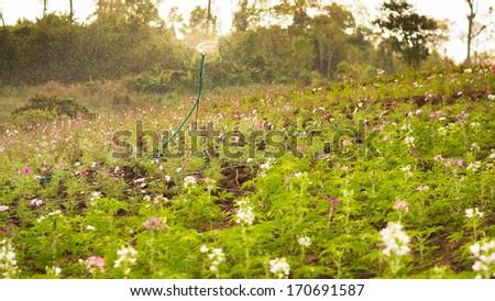 Sprinkler watering the flowers - stock photo