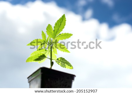 sprout marijuana plant on a background of clouds and sky - stock photo