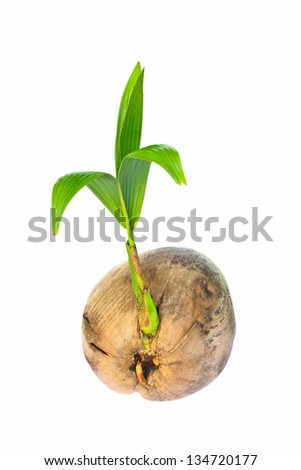 Sprout of coconut tree on white background. - stock photo