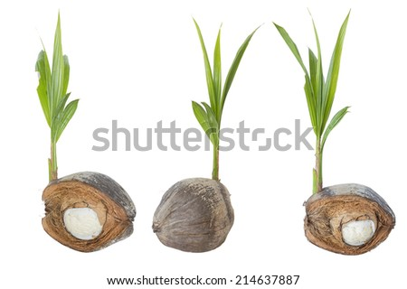 Sprout of coconut tree with embryo bud of coconut tree. - stock photo