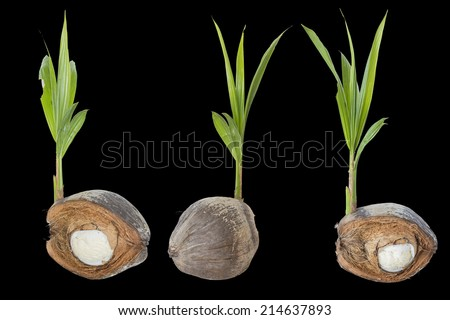 Sprout of coconut tree with embryo bud of coconut tree on black background. - stock photo