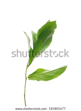 sprout tree with leaves ,isolated - stock photo