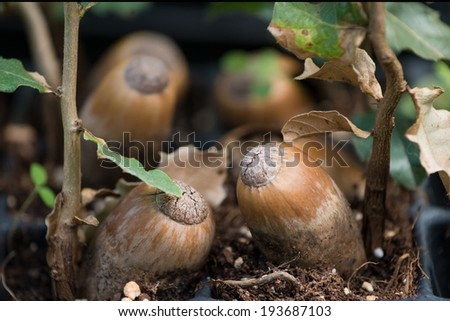 Sprouted acorns - stock photo
