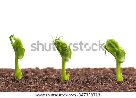 Sprouted peas in organic soil over white background - stock photo