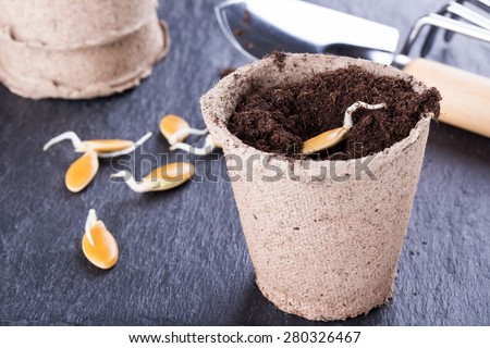 Sprouted pumpkin seeds in a biodegradable peat pot, ready for planting - stock photo