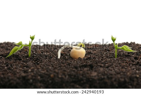 Sprouted yellow peas on organic soil with young plant over white background. Focus on the pea - stock photo