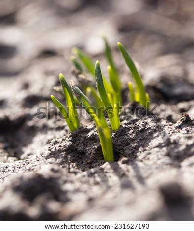 sprouting grass. macro - stock photo