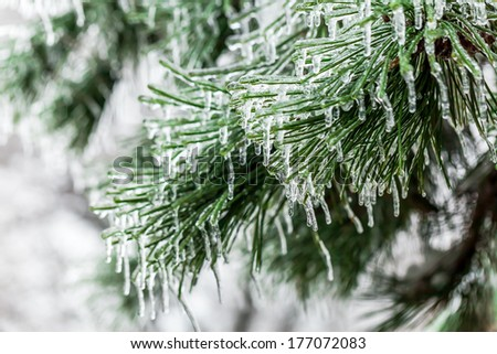 Spruce branch covered with ice after freezing rain in Ljubljana, Slovenia. - stock photo