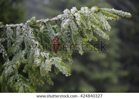 Spruce branch with cone. Trees in hoarfrost. Spring in mountain forest - stock photo