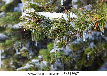 Spruce branch with snow - stock photo