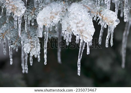 Spruce branches in winter covered with ice and long icicles, closeup - stock photo