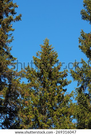 spruce crown - stock photo