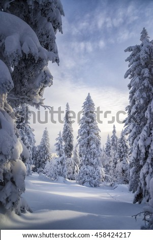 Spruce Fir-tree covered with snow Winter December January February Nature Russia - stock photo