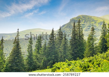 spruce forest on the hillside - stock photo