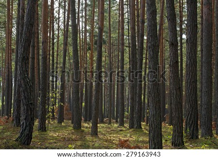 spruce forest, pinery, pine forest, Pine Tree, Fairy Forest, untouched spruce forest - stock photo