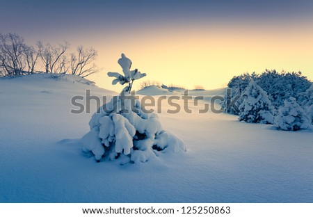 spruce in the snow - stock photo