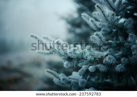 spruce in winter - stock photo