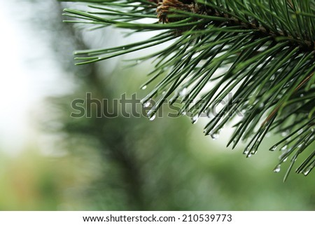 spruce leaves with water drops close up - stock photo