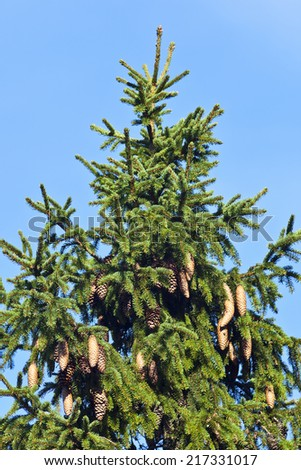 Spruce Top with pine cones in the woods - stock photo
