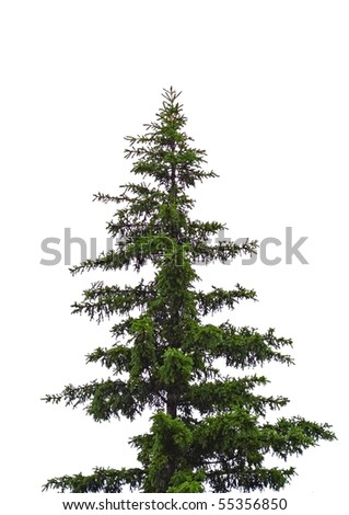 spruce tree isolated - stock photo