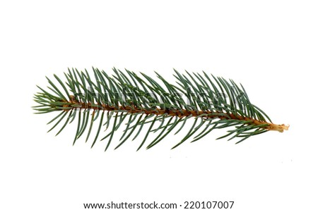 Spruce twig. Fir-trees branch isolated on white background. - stock photo