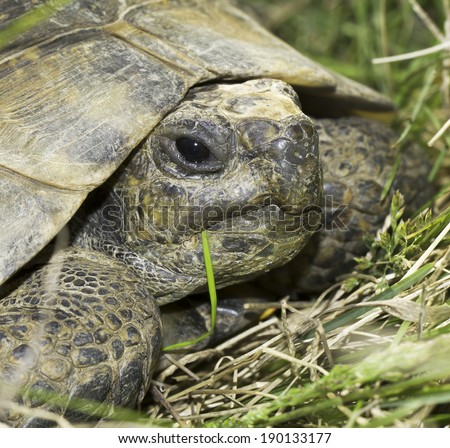 Spur-Thighed tortoise or Greek tortoise close-up (Testudo graeca ibera)  - stock photo