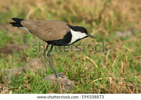 Spur-Winged Lapwing (Vanellus Spinosus) standing cautiously - stock photo