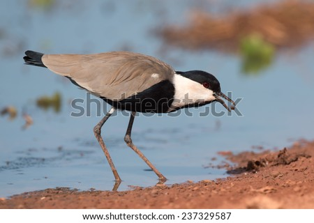Spur-Winged Lapwing (Vanellus spinosus) tossing and catching a mud covered maggot - stock photo