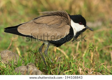 Spur-Winged Lapwing (Vanellus Spinosus) with feathers fluffed - stock photo