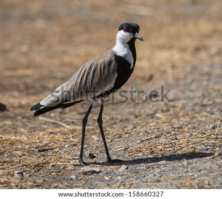 Spur-winged Plover - stock photo