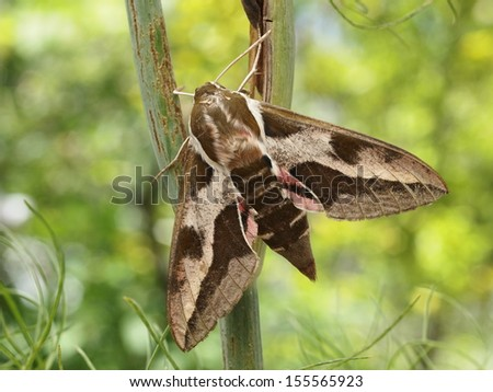 Spurge Hawk-moth Hyles euphorbiae - stock photo