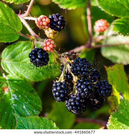 Square close-up of a bunch of black blackberry hanging ripe from a vine branch over a background of green leaves hit by dappled light on a sunny day. This red fruit is known for its antioxidant power. - stock photo