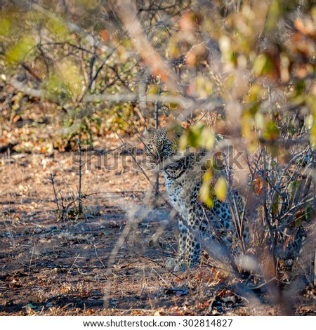 Square crop of a leopard sat under a tree - stock photo