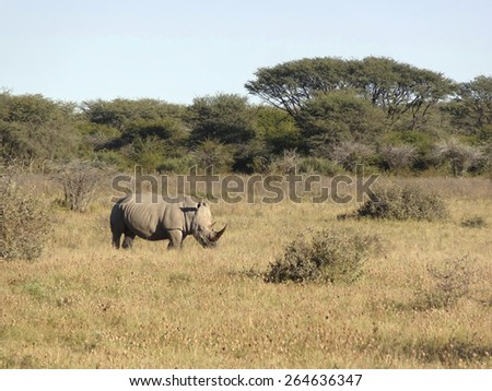 square-lipped rhinoceros seen in Botswana, Africa - stock photo