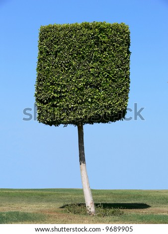 Square shape tree - stock photo