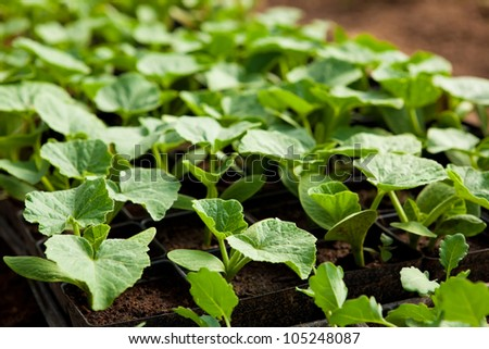 Squash seedlings in trays at an organic farm - stock photo