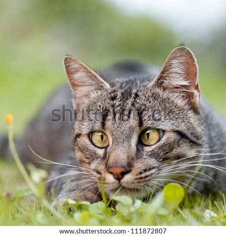 Squint-eyed tabby cat ready to pounce on one's prey - stock photo