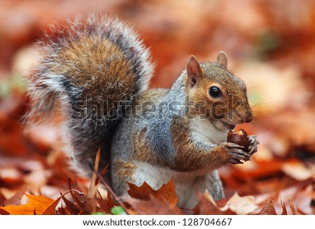 Squirrel, Autumn, acorn and dry leaves - stock photo