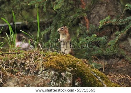 squirrel, banff national park, canadian rockies - stock photo