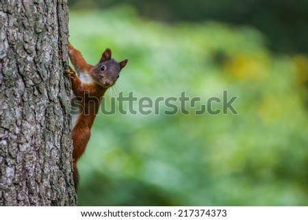 Squirrel behind the tree - stock photo