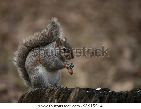 squirrel eating a nut in a park - stock photo