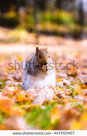 Squirrel eating nuts in autumn foliage closeup  - stock photo