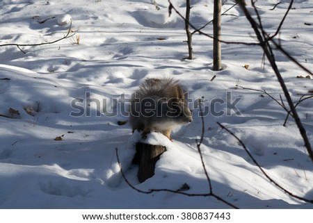 Squirrel eating nuts. Squirrel in the winter. Wildlife. Squirrel eats pine nuts. Squirrel on naked branches, fluffy fur, a wild rodent, the animal in the forest. Beautiful squirrel. - stock photo