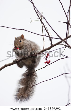 Squirrel feeding on mountain ash berries - stock photo